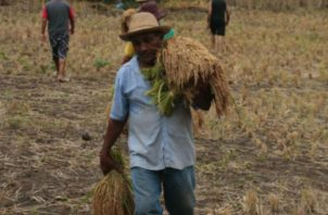 El arroz representa el principal rubro de la canasta básica familiar de los panameños.Foto: Archivo