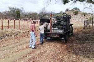 El alimento comienza a escasear en las fincas de la región ante la dura sequía que ha imperado en estos meses. Foto de Thays Domínguez