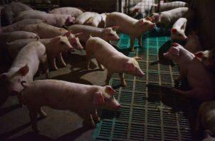 Un brote de fiebre porcina africana está matando a los cerdos de China, y algunas ciudades usan sus reservas. Foto/ Greg Baker/Agence France-Presse — Getty Images.