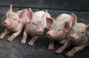 """El director nacional de Salud Animal, Concepción Santos Sanjur, explicó técnicamente que la peste porcina es una enfermedad """"dañina y peligrosa""""."""