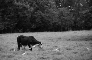 En la montaña hay que frenar la ganadería extensiva, es obligante que sea silvopastoril, para producir agua. Foto: Archivo. Epasa.
