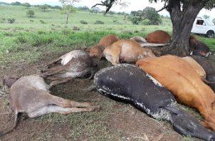 Los productores perdieron dos toros que tienen un costo aproximado de $5,000.00 cada uno. Foto/Melquiades Vásquez