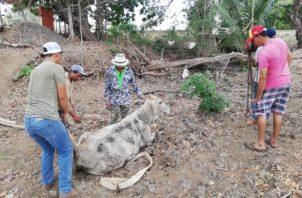 Los productores enfrentan pérdida de reses y terneros, los cuales en ocasiones han sido envenenados, ocasionando pérdidas económicas. Foto/Thays Domínguez