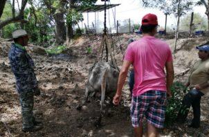 Gran cantidad de reses se debilitan y mueren al tratar de buscar agua para tomar. Foto: Thays Domínguez.