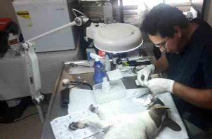 Roberto Crespo doctor veterinario en la provincia de Chiriquí, evaluó minuciosamente a Rina. Foto/Mayra Madrid