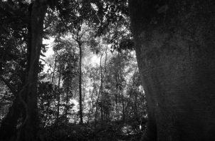 Smithsonian Tropical Research Institute que identifica, dentro de las especies ideales para la reforestación, al cocobolo, almendro de montaña, amarillo, quira y zapatero en vez de teca, pino y otras especies de recién popularidad. Foto: Epasa.