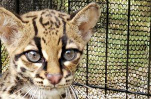 Para el año pasado, Mi Ambiente dio a conocer que se se rescataron y reubicaron a 45 animales silvestres.