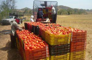 Tradicionalmente la región produce unas 200 hectáreas de tomate industrial, pero para este periodo de cosecha que iniciará a mediados de marzo, la producción disminuyó a 160 hectáreas. Foto/Thays Domínguez