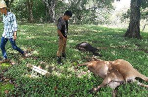 El productor Juan José Castillo, perdió 14 sementales de cría conocidos como bigmaster de alta genética luego que un rayo los fulminara debajo de un árbol. Foto/Melquiades Vásques