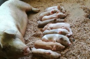 El panorama que ellos viven en estos momentos, es el mismo en el resto de los productores de cerdo en todo el país.
