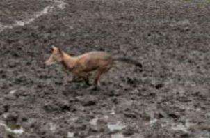 No es la primera vez que los coyotes atacan áreas productivas, ya que hace pocos meses se enfrentaron los mismos problemas en el distrito de Boquerón en la provincia de Chiriquí.