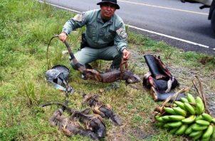 Los reptiles fueron liberados en la naturaleza. Foto. Diómedes Sánchez S.