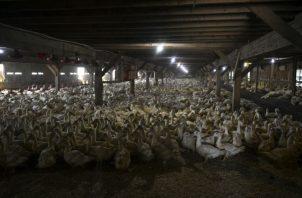 Hudson Valley Foie Gras, en el Estado de Nueva York, sacrifica a unos 800 patos de foie gras todos los días. Foto/ Desiree Rios para The New York Times.