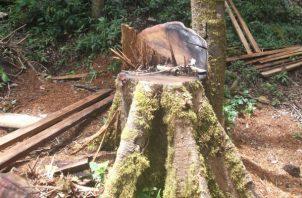 Catalogan de delito grave la tala de árboles. Foto: José Vásquez.