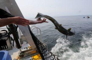 El salmón es crucial como alimento de animales, desde osos hasta águilas. Un chinook liberado en el Pacífico. Foto / Alan Berner.