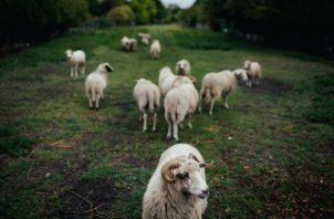 "Ovejas hacen ""pastoreo ecológico"" en Hénin-Beaumont, Francia, esfuerzo verde de la Agrupación Nacional. Foto/ Dmitry Kostyukov para The New York Times."