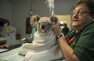 Un koala tratado por clamidia, que podría estar vinculada a un antiguo virus en el genoma del koala. Foto/ Suzi Eszterhas/Minden Pictures.