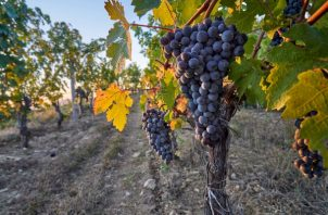 En China, se ha hecho vino de uva durante siglos. Hasta hace poco que los productores del país comenzaron a buscar una calidad más alta que pudiera gustar a los enófilos, principalmente en pequeña escala. Foto/Richard Haughton/Lafite.