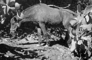 Un caballo con signos visibles de desnutrición y deshidratación. El trabajo que puede realizar un caballo o buey, depende de su peso, de su desarrollo muscular y de su resistencia. Foto: EFE.