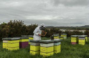 Los fabricantes de miel de manuka en Nueva Zelanda están en una disputa con productores australianos por el derecho exclusivo a la marca. Foto/ Adam Dean para The New York Times.