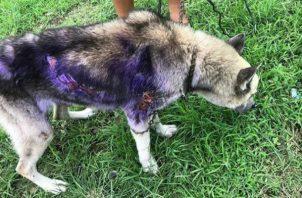El canino resultó con quemaduras en su cuerpo. Foto: Mayra Madrid.