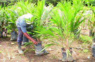 La producción nacional de palma aceitera está por las 25,000 hectáreas. Foto/Archivo