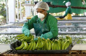 El Fosarium R4T hace que las plantas de banano y plátano se marchiten.