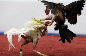 Dos gallos se enfrentan en un duelo a muerte.