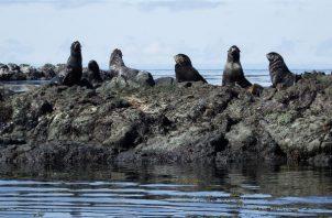 El nuevo estudio identificó una segunda ola de anticuerpos virales en el 2009 en diferentes especies de focas, incluyendo focas del hielo, osos marinos y leones marinos de Steller. Foto ilustrativa / Pixabay.