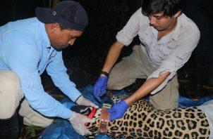 El jaguar es el felino  de mayor tamaño en América y diferentes organizaciones tratan de  evitar la extinción de este animal. EFE