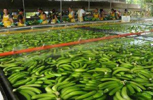 El banano sigue siendo el producto de mayor exportación en los últimos años. Su principal mercado es el continente europeo. Archivo