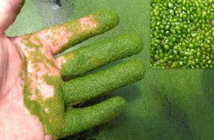 Son algas que crecen donde hay poco movimiento de las aguas. Foto: Diómedes Sánchez S.