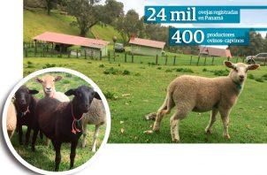 En Panamá, según la Asociación, existen alrededor de 200 productores ovinos y 200 caprinos a nivel nacional.