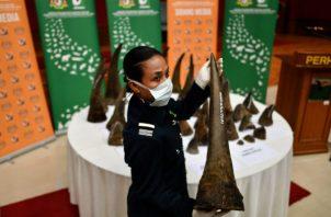 Élites en China y Vietnam regalan cuernos de rinoceronte. Cuernos decomisados en Kuala Lumpur el año pasado. Foto/ Manan Vatsyayana/Agence France-Presse — Getty Images.