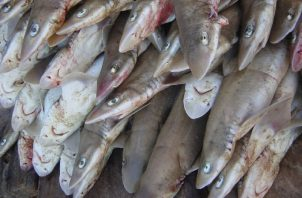 Estudio ayudaría a gestionar manejo de tiburones en Panamá. Cortesía/Alejandro Tagliafico