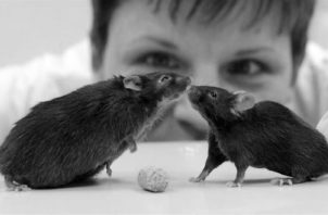 Se hicieron pruebas con ratones enjaulados. Todas las dosis probadas del cannabidiol  indujeron efectos anti-agresivos, indicados por una disminución en el número de ataques.  Foto Archivo: EFE.