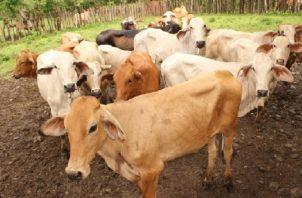 El sacrificio de ganado bovino aumentó hasta octubre del presente año 4.8%. Archivo
