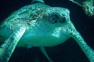 En Panamá se han identificado unas 92 playas de anidación de tortugas marinas en la costa Caribe y otras 86 en el Pacífico. Foto/Cortesía