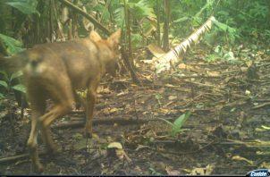 Coyotes y zorros cangrejeros han colonizado el corredor agrícola entre Panamá y el lago Bayano.