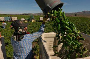 Políticas de inmigración más estrictas en EE. UU. han afectado la capacidad de granjeros de contratar a pizcadores. Foto / Ramsay de Give para The New York Times.