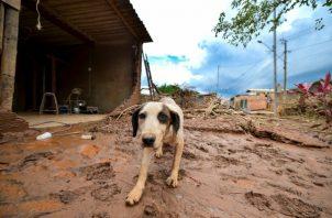 Un perro camina entre el fango causado por el desbordamiento del río Das Velhas, tras las lluvias torrenciales, en Sabara, en la región metropolitana de Belo Horizonte. FOTO/EFE
