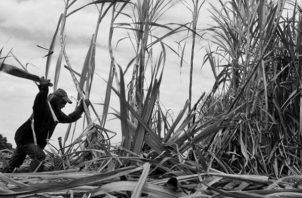 El período de zafra tiene un impacto económico en muchas comunidades del interior del país que se benefician tanto directa como indirectamente de la cosecha y procesamiento industrial del azúcar. Foto: EFE.