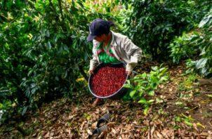 El café representa para Panamá apenas del 0.4% del producto interno bruto.