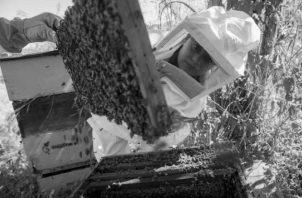 Es necesario el financiamiento e implementación de investigación, reproducción y liberación de abejas a ecosistemas determinados en Panamá que las necesiten. Foto EFE.