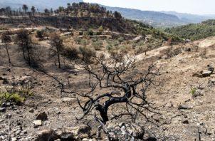 En un clima más caliente y más seco, como en España, los bosques pueden morir por la sequía o incendiarse. Foto / Edu Bayer para The New York Times.