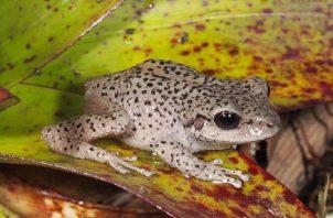 Un ejemplar de rana Pristimantis balionotu, en la provincia de Loja (Ecuador).