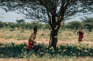 Kenia lucha con su peor brote de langostas del desierto en 70 años, amenazando la seguridad alimenticia de millones. Foto / Khadija Farah para The New York Times.