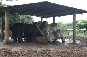 La mayoría de las fincas lecheras venden su producto a queserías  a 50 centavos. FOTO/ERIC MONTENEGRO
