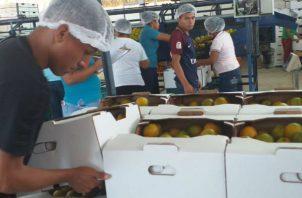Por primera vez, Panamá exporta naranja hacia el Caribe.