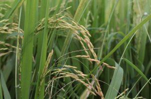El pago beneficiará a 24 productores de arroz asociados.
